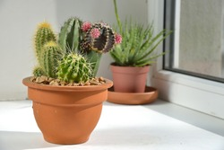 Room flowers on the windowsill. Cacti are in a pot on the windowsill.