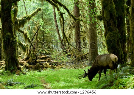 Roosevelt elk in Olympic national park, Washington