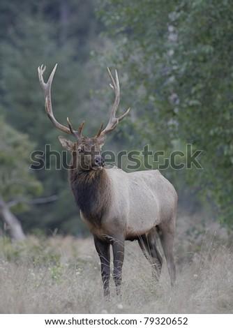 Roosevelt Elk in Redwood National Park, California