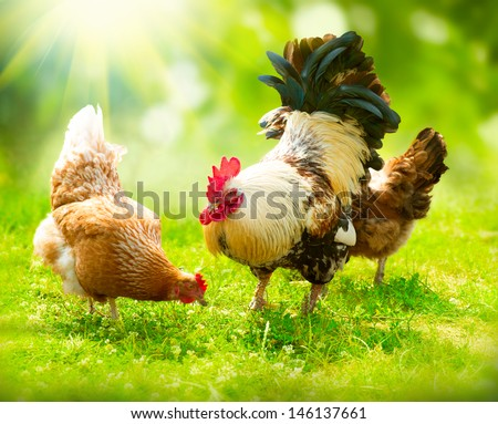 Rooster and Chickens. Free Range Cock and Hens  #146137661