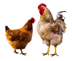 Rooster and chickens isolated on white background