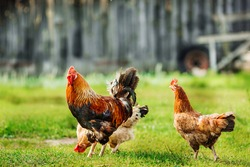 Rooster and chickens on traditional free range poultry farm.