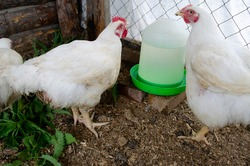 rooster and hen at the drinking bowl with water