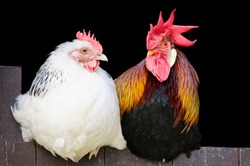 Rooster and hen couple sitting close together on black background