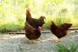 Rooster and hen Rhode Island Red australia species in free range husbandry natural animal in backyard. concept purebred egg chickens farming in lifestyle garden organic.