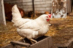 Rooster and hens are walking outdoors on a farm in the countryside. The bird walks freely in the chicken coop. Hens in the house. Chicken in the chicken coop. Chickens in the farm on a sunny day