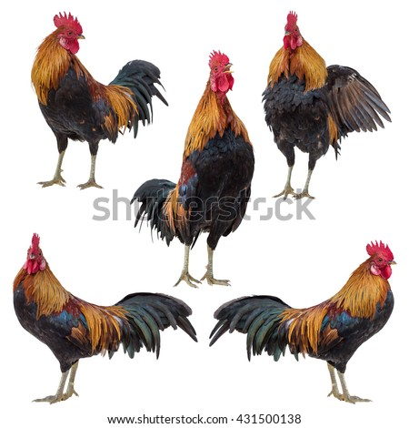 Rooster collection set isolated on white