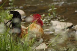 Rooster drinking water from the river