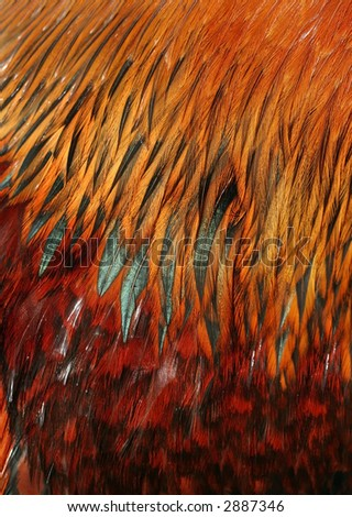 rooster feather detail