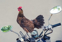 Rooster or Chicken ride on the old motorcycle.
