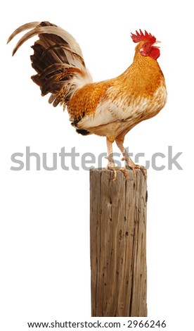 Rooster perched upon a wooden post crowing up at the sky over white