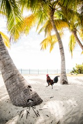Rooster running beneath the palm trees in key west, florida