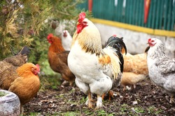 Rooster standing outdoors with hens on background,village birdlife