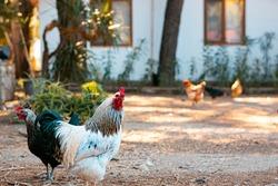 Rooster white and dark feather, cock bird, village yard background