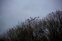 Roosting rooks at sunset on winter evening on windblown low trees by west sussex coast UK