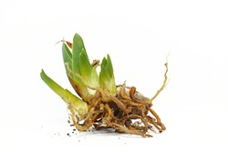 Root of iris flower on white background