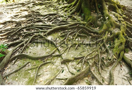 Root of the tree and moss