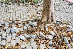 root of tree growing and damage brick block walkway in garden