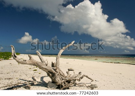 Root on the lonely beach of Maupiti, French Polynesia, Society Islands