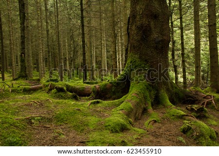 Roots of a big tree with green moss  in a deep green forest near Bergen, Norway. Calm and wild nature concept. Forest landscape