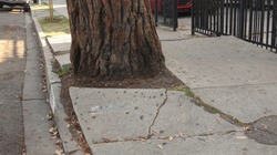 Roots of a mature tree cracking and destroying the sidewalk, causing a trip hazard