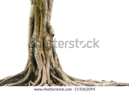 Roots of a tree isolated on white background. This has clipping path. #511062094