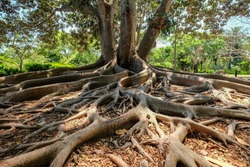 roots of fig tree (ficus macrophylla)