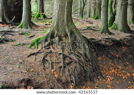 Roots of forest trees along an autumn forest path