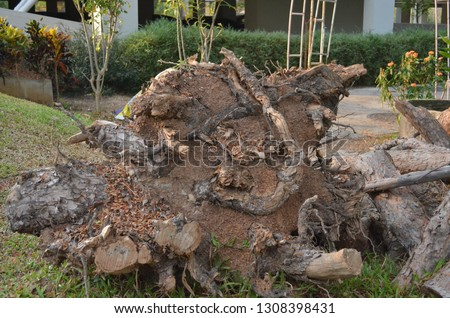 Roots of pine tree, upside down, uncovered as the tree being pulled and cut into pieces with an electric hacksaw after being attacked by a thunderstorm