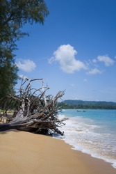 Roots of the death tree on the beach