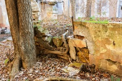 Roots of trees on ground destroy foundation of building. Root of trees penetrate into brick wall, destroys structure, asphalt road. Tree with large roots destroys, smashes, damages sidewalk and house