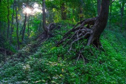 Rooty Tree On An Eroding Hill In A Summertime Forest In Central Illinois