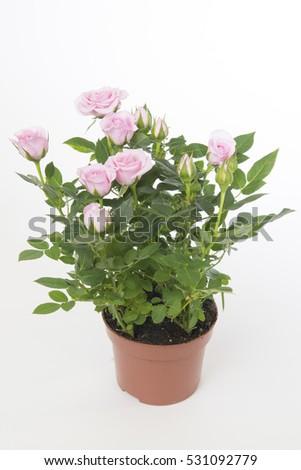 Rosa Baby Jewel #531092779