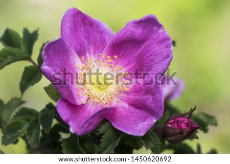 Rosa canina delicate rose of delicate aspect and sharp thorns in the stems flower of dark pink color very intense #1450620692