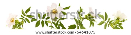 Rosa canina; Dog Rose; isolated on white
