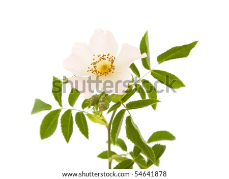 Rosa canina; Dog Rose; isolated on white