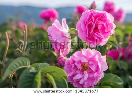 Rosa damascena, known as the Damask rose - pink, oil-bearing, flowering, deciduous shrub plant. Balley of Roses. Close up view. Back light. Selective focus.