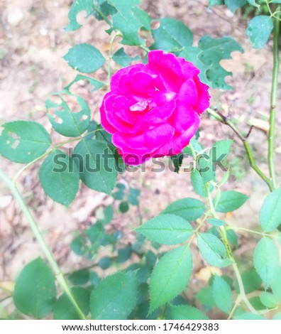 Rosa × damascena, more commonly known as the Damask rose,[1][2] or sometimes as the rose of Castile, is a rose hybrid, derived from Rosa gallica and Rosa moschata.