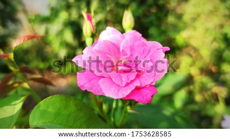 Rosa × damascena, more commonly known as the Damask rose, or sometimes as the rose of Castile, is a rose hybrid, derived from Rosa gallica and Rosa moschata.