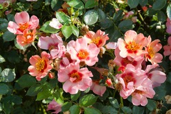 Rosa 'For Your Eyes Only' in flower