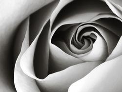 rosa, Latin Gypsy Curiosa