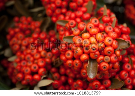 Rosa mosqueta (Rosa eglanteria) plant in Patagonia. Its red fruit, known as rose hips, is used to make sweets, jams and infusions. The oil extracted from its seeds is used in cosmetics.