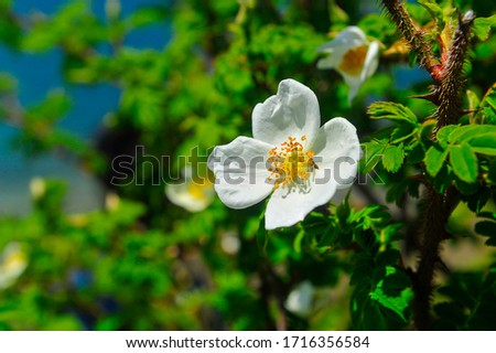 Rosa sericea, the silky rose, is a species of Rosa. The closely related Rosa omeiensis is sometimes treated as a subspecies of R. sericea.