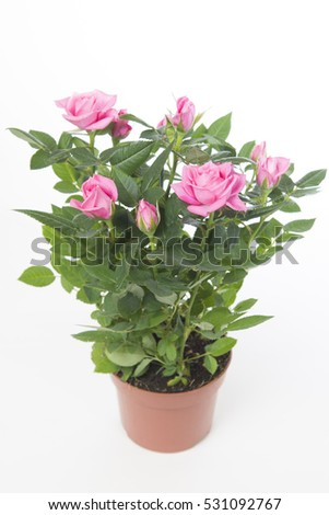 Rosa Sparkling Jewel #531092767