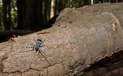 Rosalia longicorn in habitat. The Rosalia longicorn (Rosalia alpina) or Alpine longhorn beetle, is a large longicorn. It lives in beech forests.