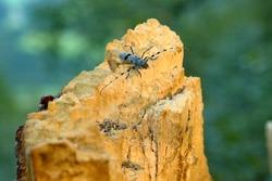 Rosalia longicorn on the dead wood, Slovakia