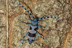 Rosalia Longicorn - Rosalia alpina or Alpine longhorn beetle, is a large longicorn (family Cerambycidae) that is distinguished by its distinctive markings