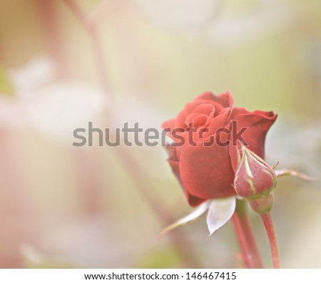 stock-photo-rose-146467415.jpg