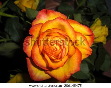 Rose #206145475