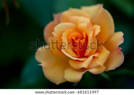 Rose #681611497